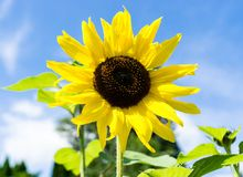 Yellow sunflower on a sunny day. With blue sky and some clouds Stock Images