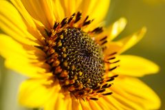 Yellow sunflower. A sunny macro image of a sunflower facing upward royalty free stock photo