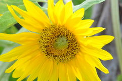 Yellow sunflower Stock Photos