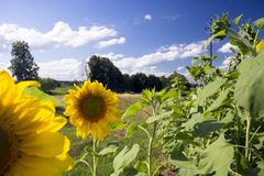 Yellow sunflower, sunflower, on a thin leg against the blue sky in the summer on a sunny day. A field of sunflowers. stock image