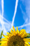 Yellow sunflower under a blue sky with contrails Stock Photography
