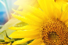 Yellow sunflower Stock Photography
