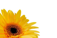 Yellow Sunflower on white Royalty Free Stock Photography