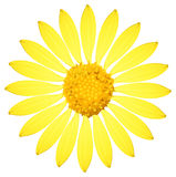 A yellow sunflower. On a white background Royalty Free Stock Images