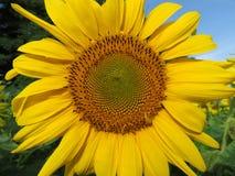 Yellow Sunflower at the Wildlife Refuge Stock Photos