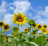 Yellow of sunflowers Stock Photography