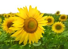 Yellow sunflowers Royalty Free Stock Image