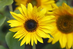 Yellow Sunflowers Stock Photography