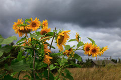 Yellow sunflowers Royalty Free Stock Images