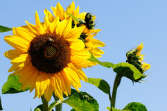 Yellow sunflowers Stock Images