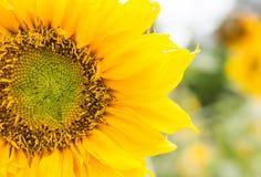Yellow Sunflowers Stock Image