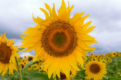 Yellow sunflowers on a background field. On top of storm clouds. Before the rain. Royalty Free Stock Photography