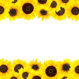 Yellow sunflowers background Stock Photo