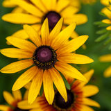 Yellow sunflowers on a background of grass Royalty Free Stock Images