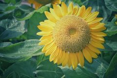 Yellow sunflowers are blooming in the daytime with a patterned green foliage background. For natural backgrounds and wallpapers royalty free stock photos