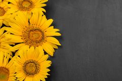 Yellow sunflowers close-up on a dark black background with a place for an inscription. top view royalty free stock photos