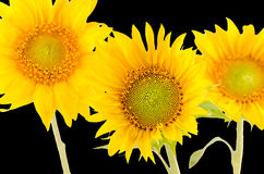 Yellow sunflowers, close up, isolated, cutout Royalty Free Stock Image