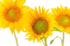 Yellow sunflowers close up Royalty Free Stock Photos