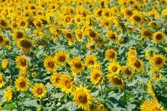 Yellow sunflowers field Stock Photo