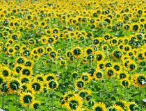 Yellow sunflowers field Royalty Free Stock Images