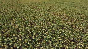 Yellow Sunflowers Field. Aerial View. Aerial View shot with a DJI Mavic fps 29,97 4k stock footage