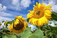 Yellow sunflowers in the field against sky background Royalty Free Stock Photos
