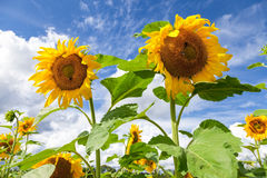 Yellow sunflowers in the field against sky background Stock Photos