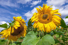 Yellow sunflowers in the field against sky background Stock Image