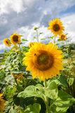 Yellow sunflowers at the field against sky background Stock Image