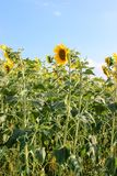 Yellow sunflowers. Sunflowers in the field in the bright sun stock photos