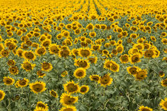 Yellow Sunflowers in a Field in South Dakota Stock Photography