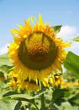 Yellow sunflowers in a field Stock Photography