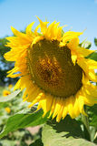 Yellow sunflowers in a field Royalty Free Stock Images