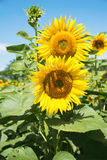 Yellow sunflowers in a field Royalty Free Stock Image