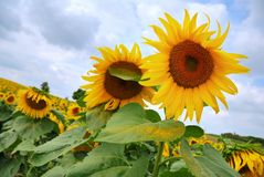 Yellow sunflowers field under a cloudy sky Royalty Free Stock Photo
