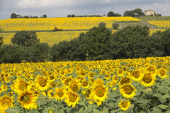 Yellow sunflowers fields, Umbria Stock Photo