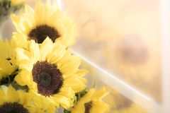 Yellow sunflowers flowers in sunlight window royalty free stock images
