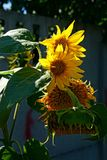 Yellow sunflowers in the garden at the fence in the sunny day Royalty Free Stock Photos