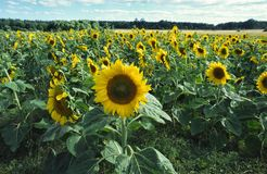 A field with yellow sunflowers and green leaf stock image