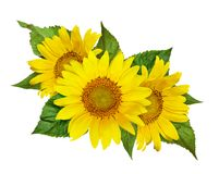 Yellow sunflowers and green leaves in floral arrangement royalty free stock photos