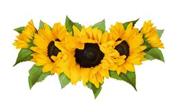 Yellow sunflowers and green leaves in wave summer arrangement royalty free stock photography