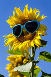 Yellow Sunflowers with Heart Sunglasses Royalty Free Stock Images