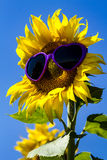 Yellow Sunflowers with Heart Sunglasses Stock Image