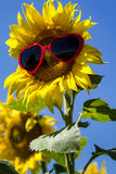 Yellow Sunflowers with Heart Sunglasses Stock Images
