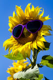 Yellow Sunflowers with Heart Sunglasses Royalty Free Stock Photography
