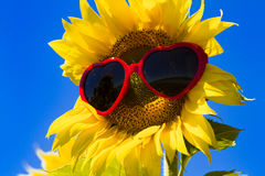 Yellow Sunflowers with Heart Sunglasses Stock Photos