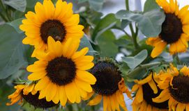 Yellow sunflowers, helianthus in a meadow. Close up view, blur nature background. Stock Images