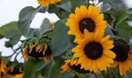 Yellow sunflowers, helianthus in a meadow. Close up view, blur background. Royalty Free Stock Photo
