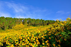 Yellow sunflowers on the hill Royalty Free Stock Photography