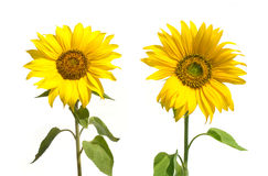 Yellow sunflowers isolated on white closeup Royalty Free Stock Image